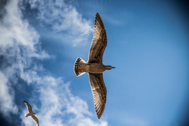 sea-gull-bird-sky-nature.jpg